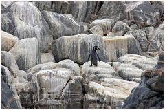 wohlfühl...der Humboldt Pinguin