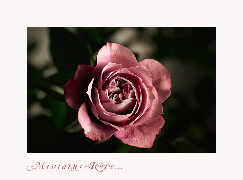 Wohlgeformt - die Miniatur-Rose...