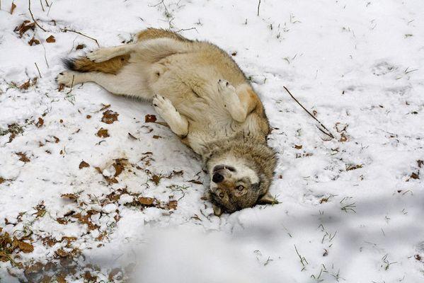Wohlgefühl ( Wolf im Tierglände Nationalpark Bayerischer Wald)