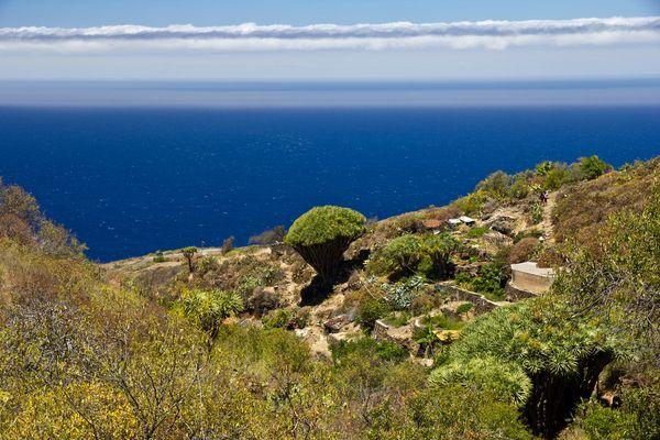 Wohnen auf La Palma / Drachenbaum