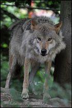 Wolf (12)