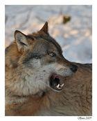 Wolf #2