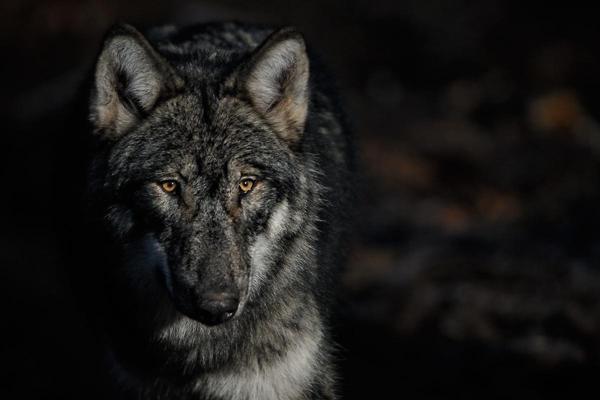 Wolf 2012/1