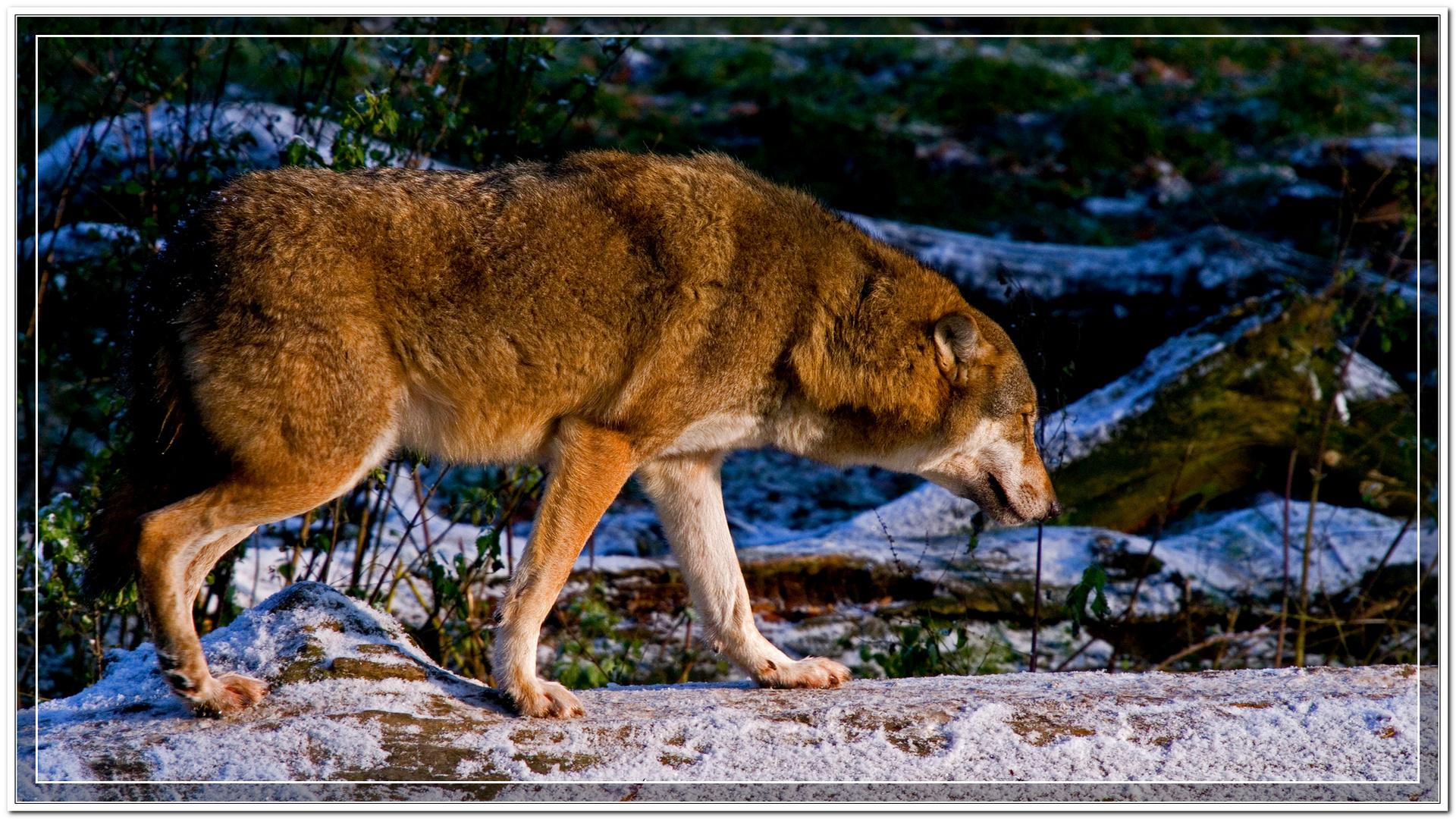 Wolf auf Baumstamm