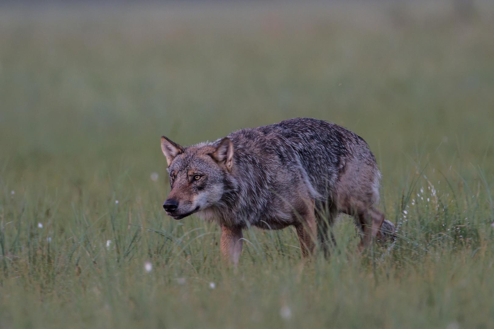 Wolf: Auf der Pirsch.