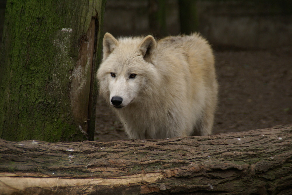 Wolf auf Lauer