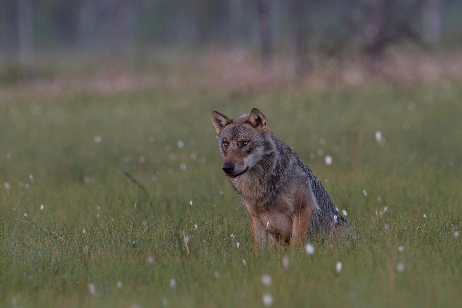 Wolf: Ausschau