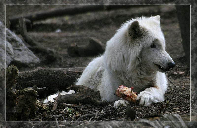 Wolf bei der Jause