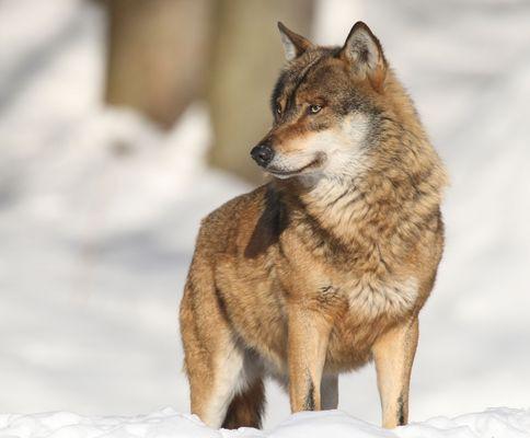 Wolf bei minus 10 Grad!