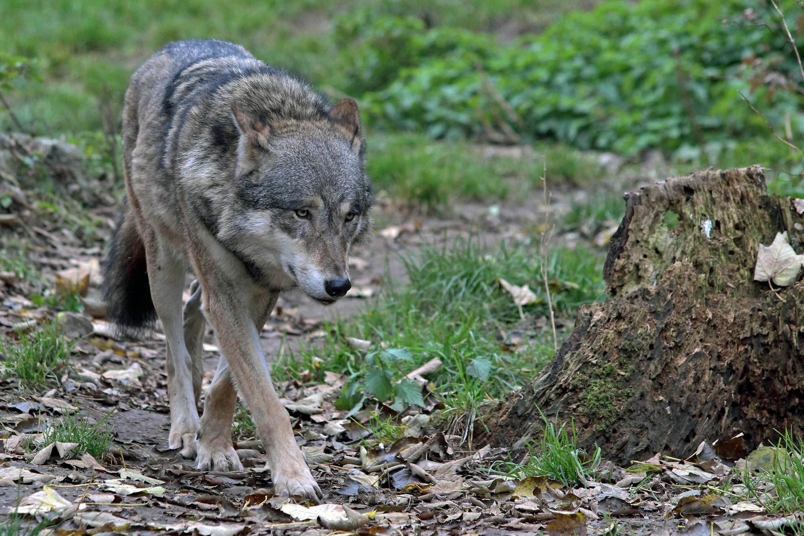 Wolf beim Herbstspaziergang