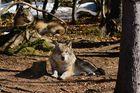 Wolf beim Sonnenbad