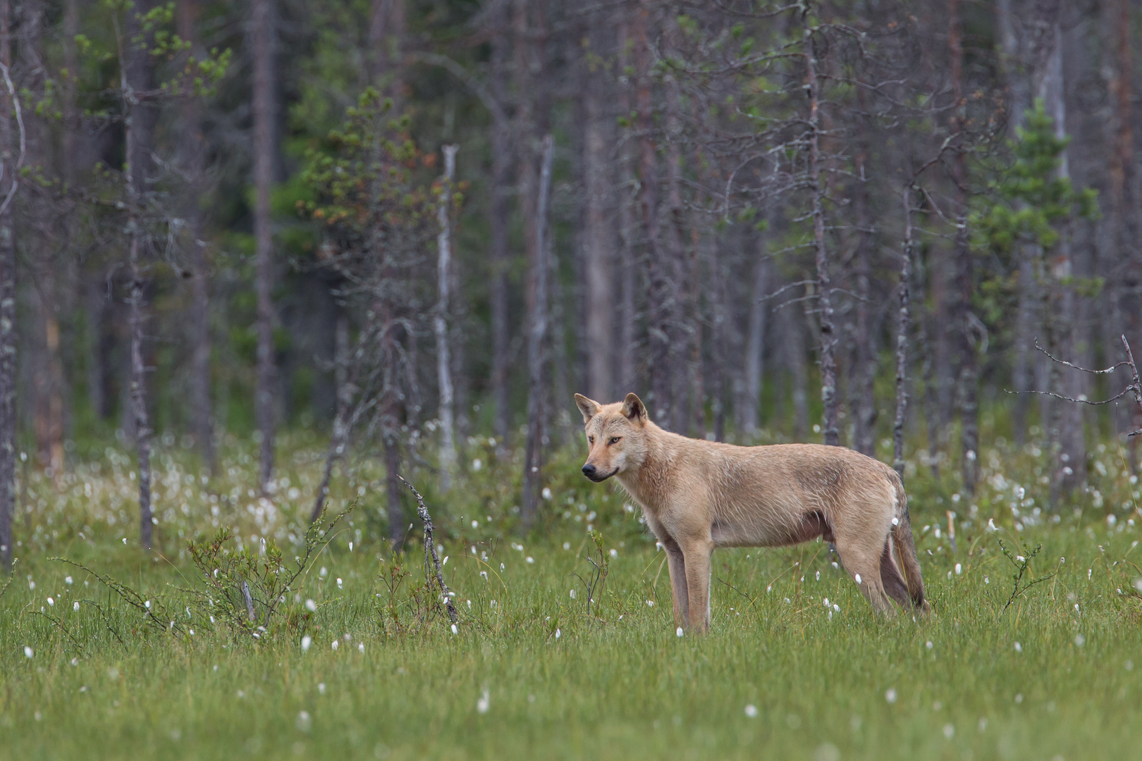 Wolf: Der blond Typ.
