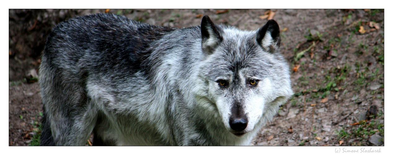 + Wolf  +