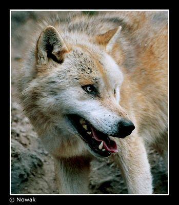 »Wolf«
