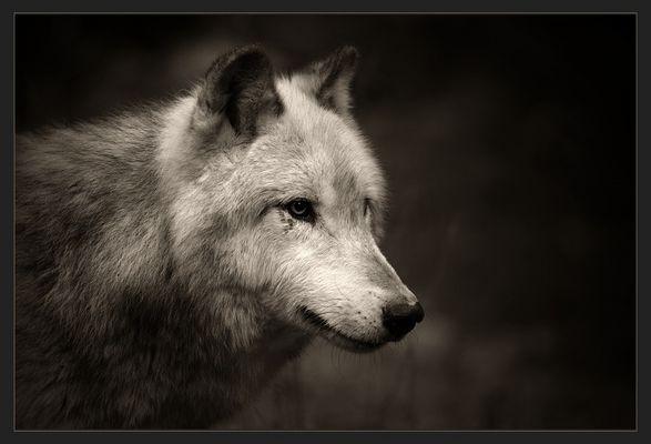 ** Wolf **