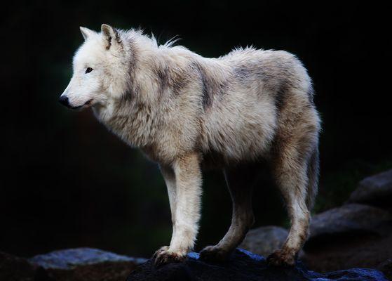 ...Wolf...