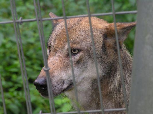 """Wolf: """"Hinter Gittern"""""""