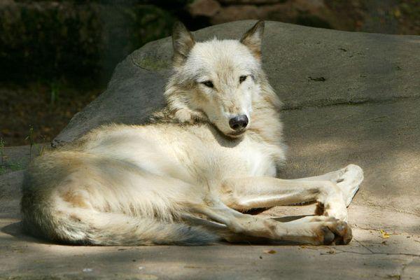 Wolf hinter Gittern