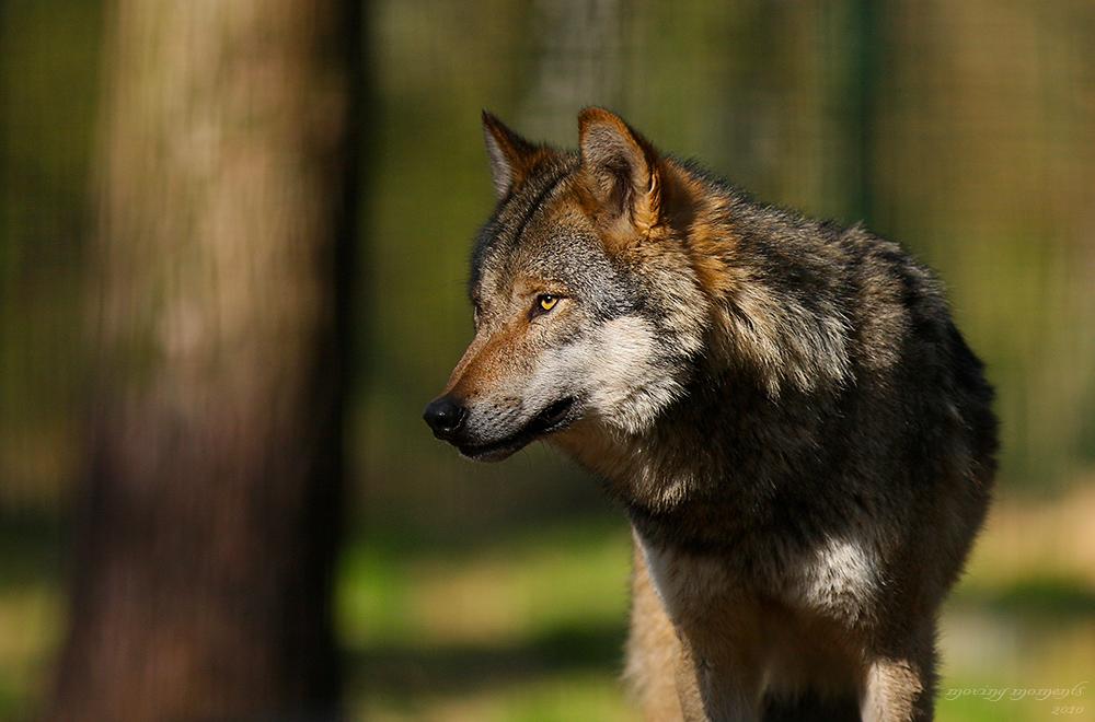 Wolf I im Frankenhof Reken