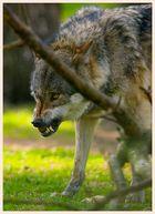 Wolf II im Frankenhof Reken