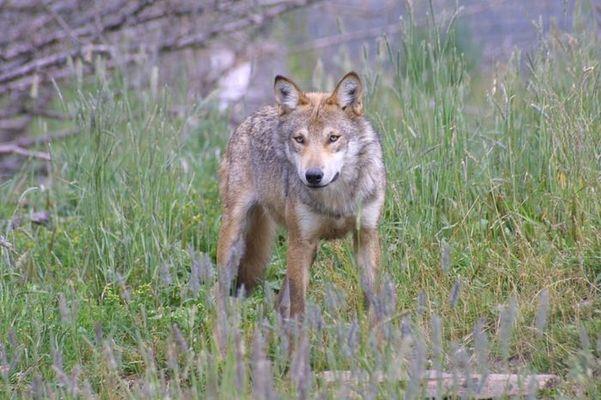 Wolf im Blick