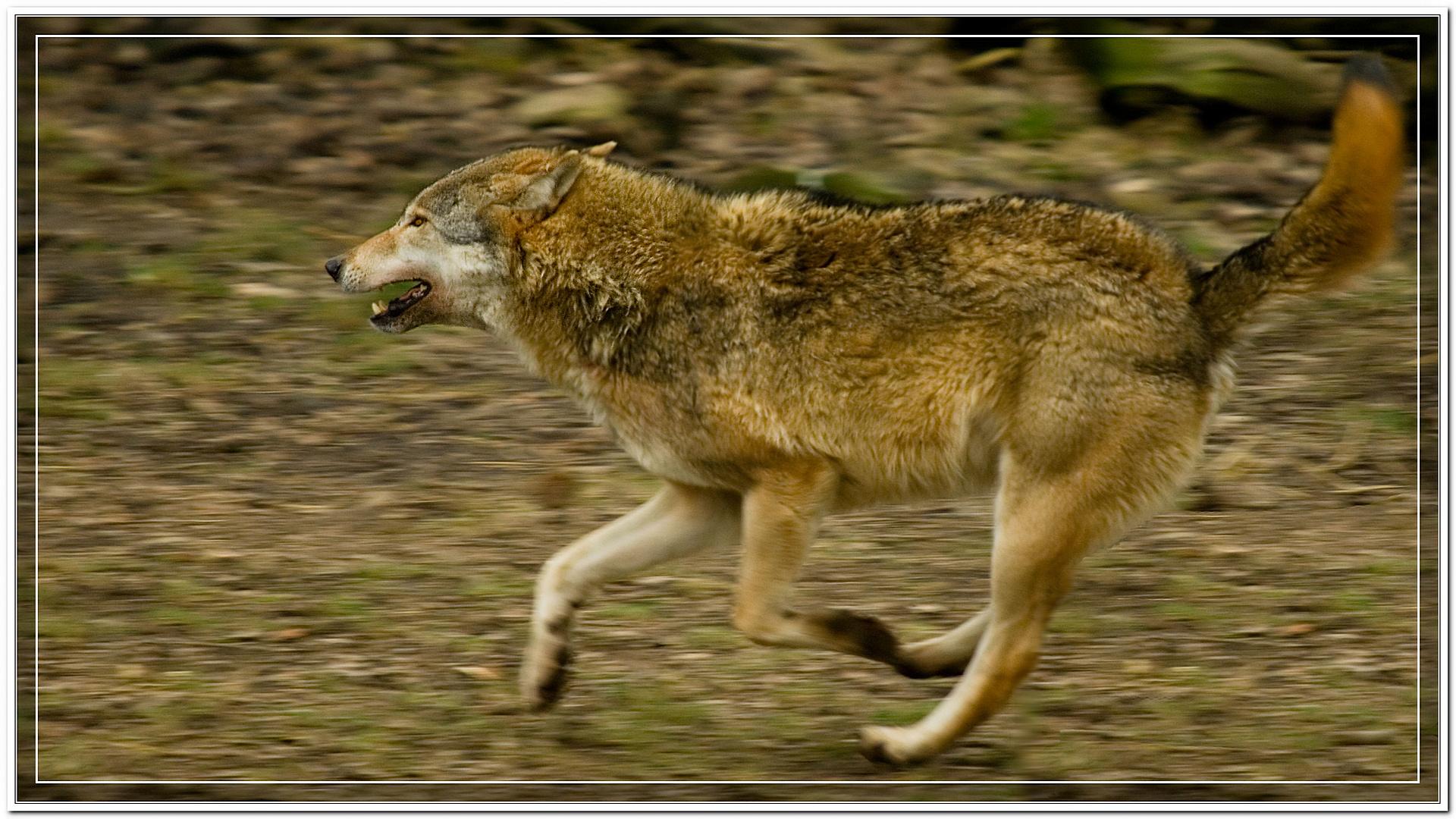 Wolf im Galopp