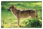 Wolf im Gegenlicht ...