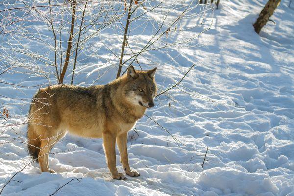 Wolf im Gegenlicht