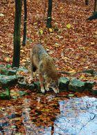 Wolf im HerbstLaub
