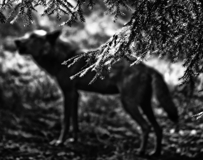 wolf im hintergrund ...