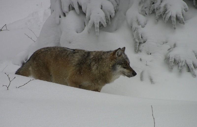 Wolf im Nationalpark Bayerischer Wald (2)