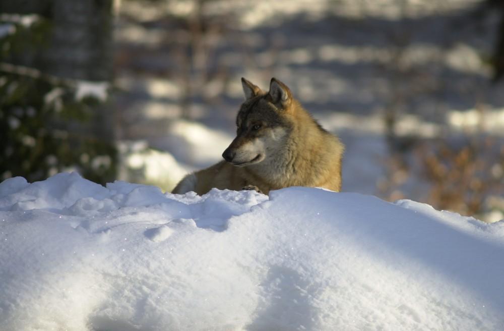 Wolf im Nationalpark Bayerischer Wald (captive)