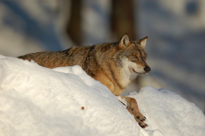Wolf im Nationalpark Bayerischer Wald (captive) - 2