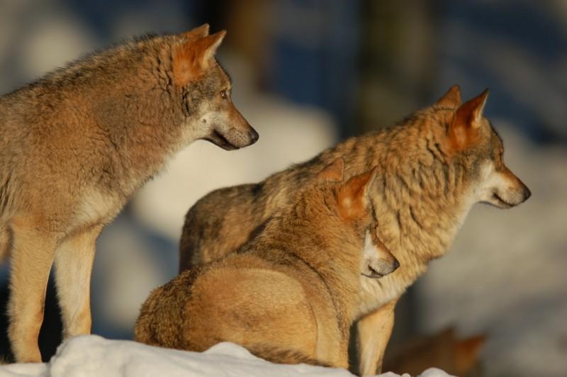 Wolf im Nationalpark Bayerischer Wald (captive) - 3
