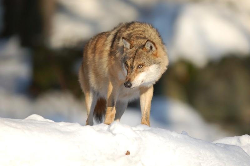 Wolf im Nationalpark Bayerischer Wald (captive) - 4