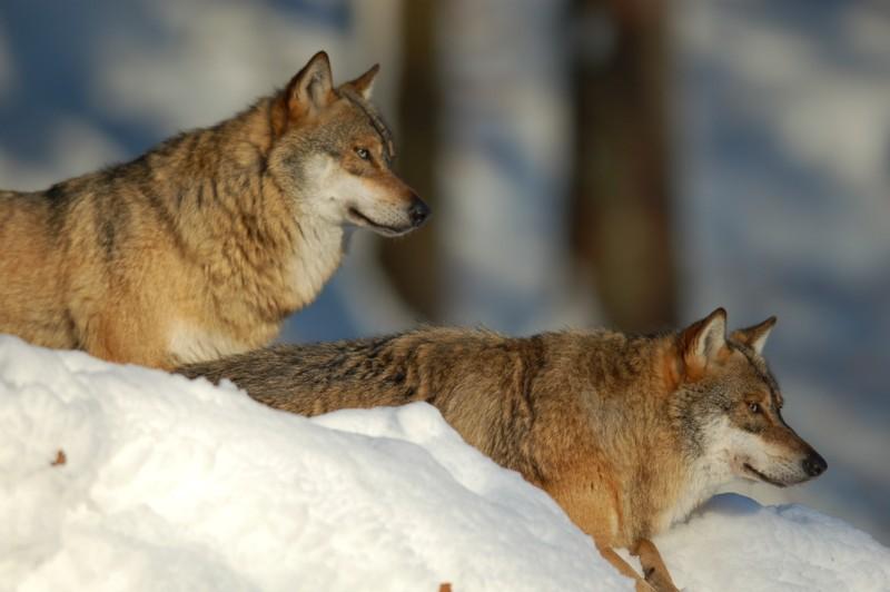 Wolf im Nationalpark Bayerischer Wald (captive) - 5