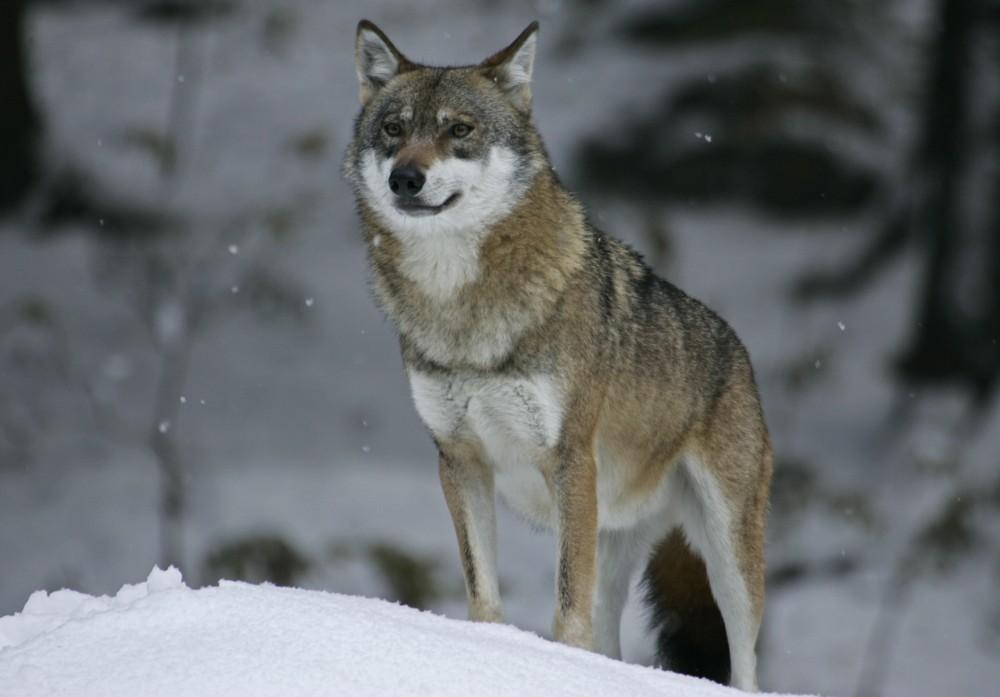 Wolf im Nationalpark Bayerischer Wald (Tierfreigelände) - 1