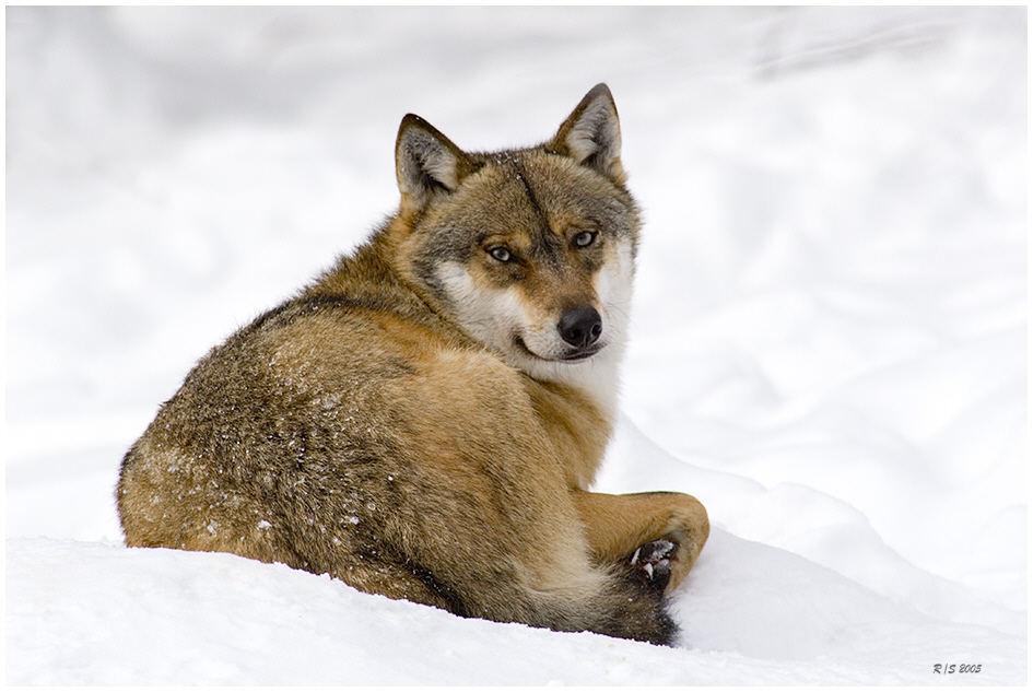 Wolf im NP Bayerischen Wald