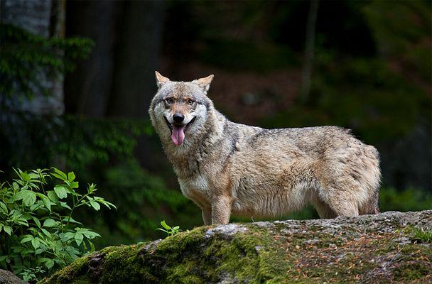 Wolf im NP Bayerischer Wald