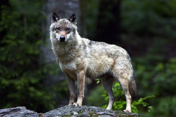 Wolf im NP Bayrischer Wald