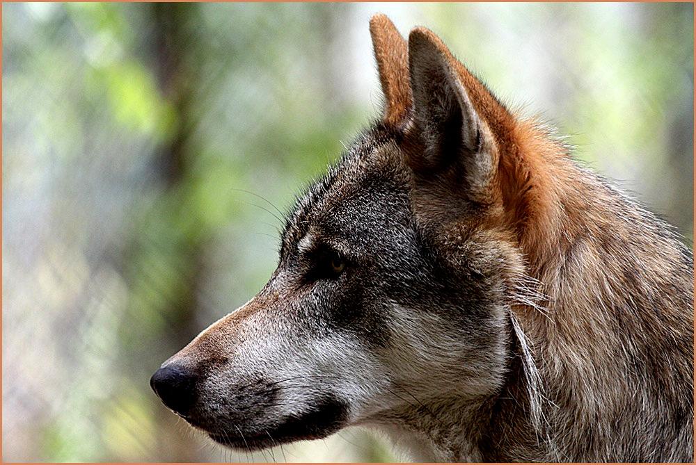 wolf im profil foto bild tiere zoo wildpark falknerei s ugetiere bilder auf fotocommunity. Black Bedroom Furniture Sets. Home Design Ideas