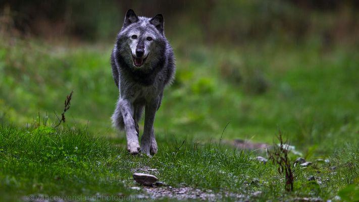 Wolf im Regen
