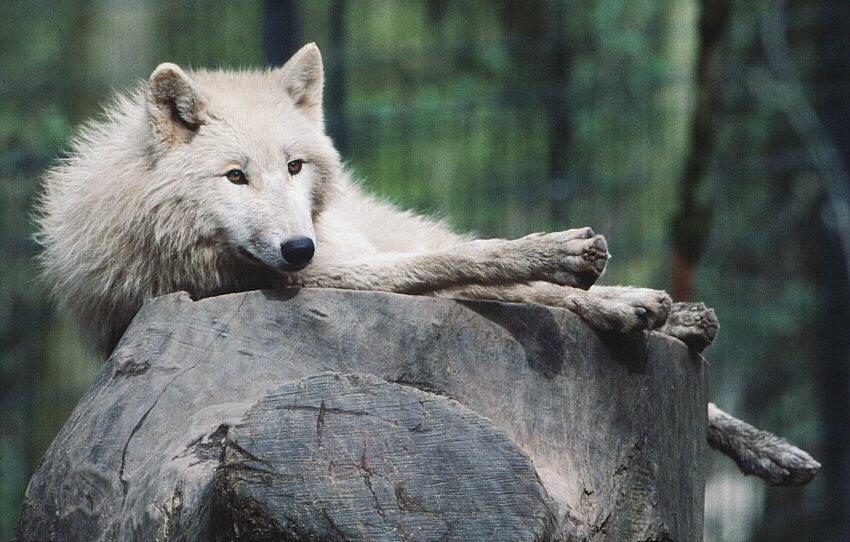 Wolf im Schafspelz - kurz vor Absturz