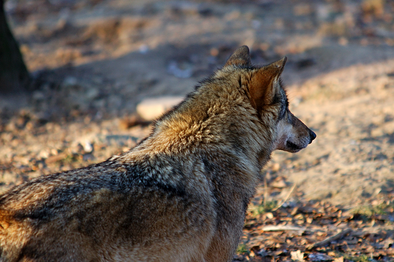 Wolf im Solling???