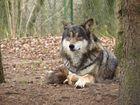 Wolf im Tierpark Hellabrunn