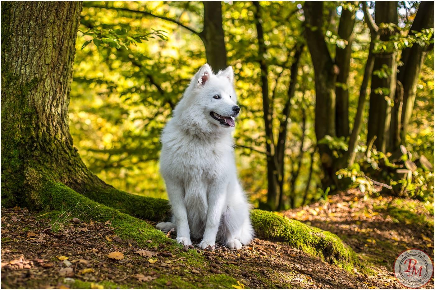 Wolf im Wald / Samojede