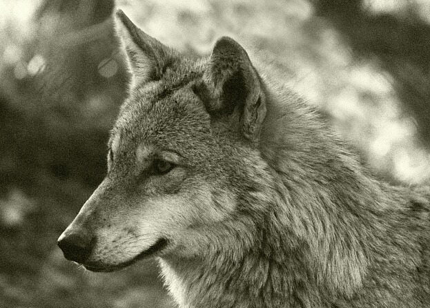 Wolf im Winterfell