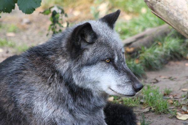 Wolf im Zoo