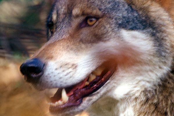 Wolf in Bewegung