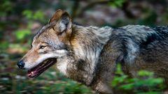 Wolf laufend